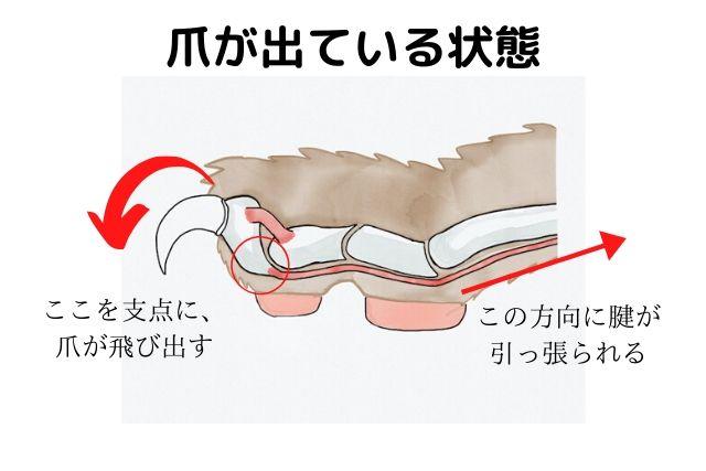 猫の爪の構造爪2