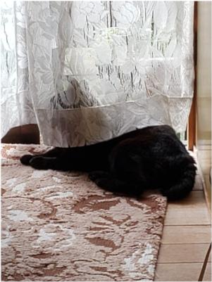 カーテンの後ろにいる猫の写真