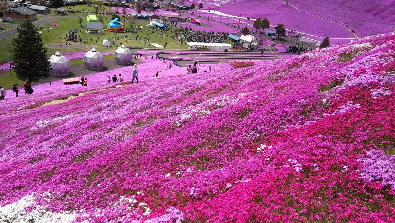 満開の芝桜(大空町東藻琴)