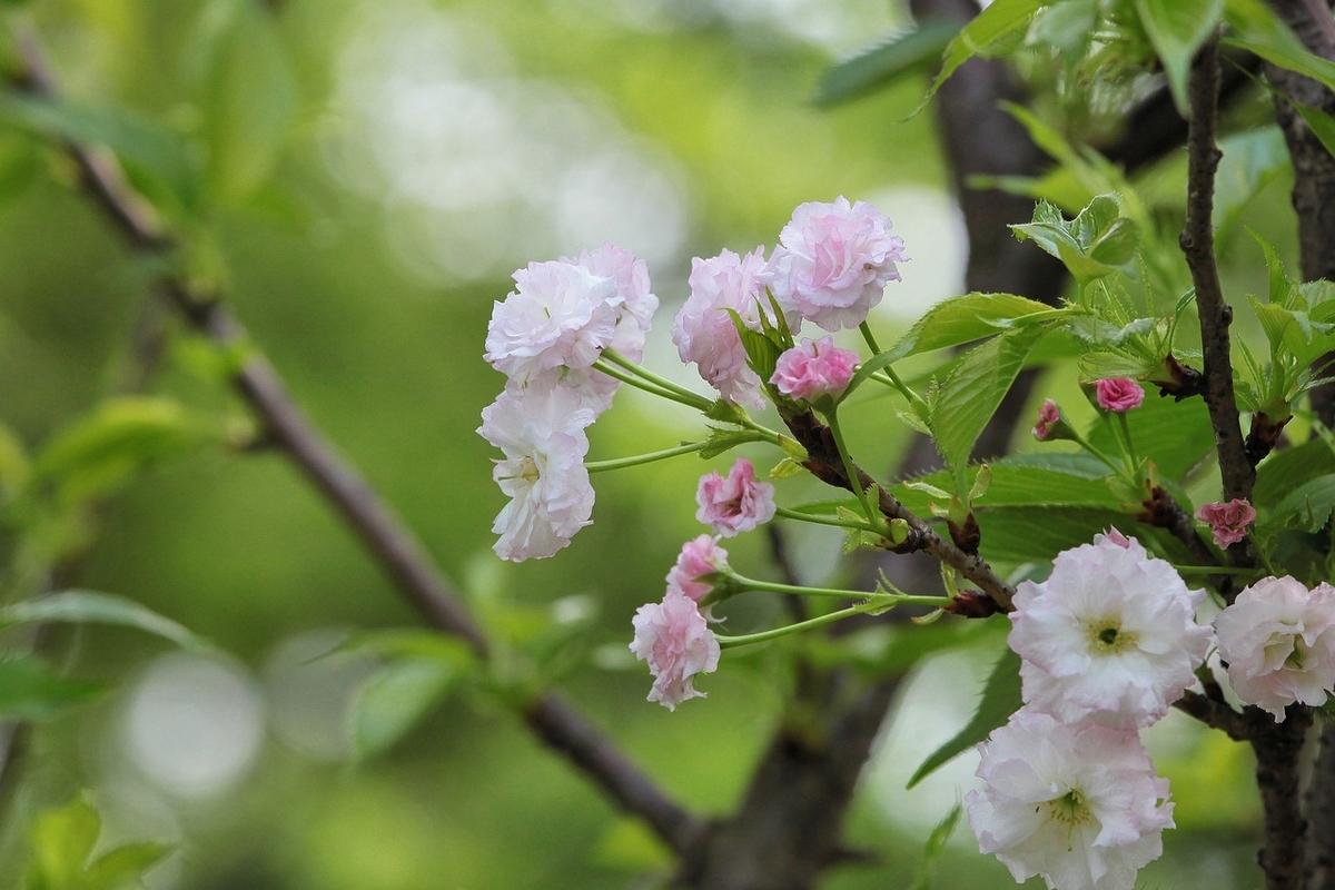 これは桜の花です