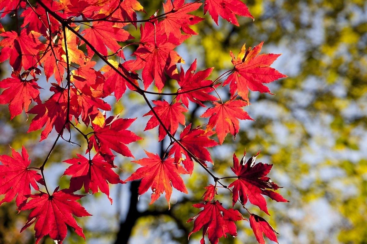 これは紅葉です。