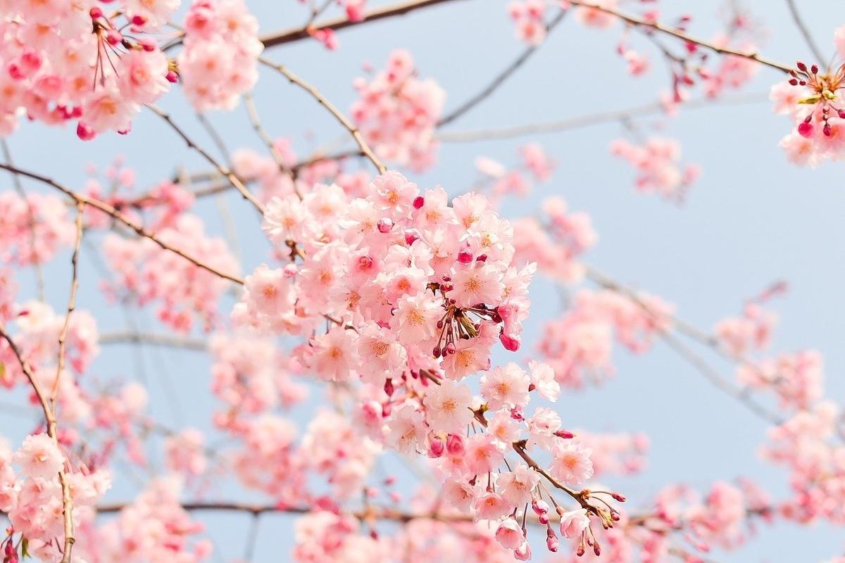 これは桜の花です。