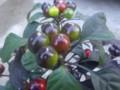 トウガラシ「ブラックパール1」