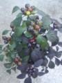 トウガラシ「ブラックパール2」