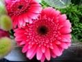 [花]ガーベラ「ファタモルガナ」