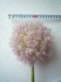 [花]アリウム「ギガンジューム」3