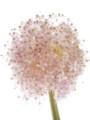 [花]アリウム「ギガンジューム」1