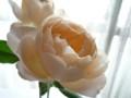 [花]バラ「アプリコットファンデーション」