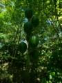 [大船植物園]ウバユリの実
