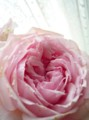[花]バラ「エレガントドレス」1