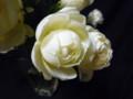 [花]スプレーバラ「スィートオールド」