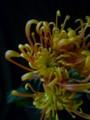 [花]スプレーマム「ホマロ」
