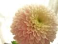 [花]マム「セイオペラベージュ」