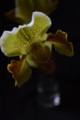 [花]パフィオペディラム