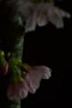 [花]桜の木肌