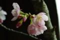 [花]桜「陽光」