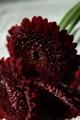 [花]ガーベラ「マッドネス」2