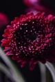 [花]ガーベラ「マッドネス」1