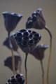 [花]ハスの実(茶)1