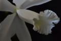 [花]カトレア「白雪」2