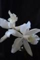 [花]カトレア「白雪」1