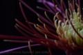 [花]スプレーマム2