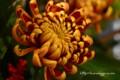 [花]マム「フエゴダーク」