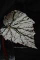 [花]レックスベゴニア「サラマンダー」1