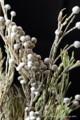 [花]スプレーブルニア1