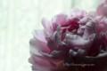[花]シャクヤク「かぐや姫」