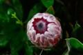 [花]プロテア「ピンクアイス」