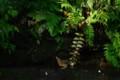[鳥]ガビチョウの水浴び・・・その後