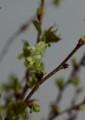 [花]ウコンザクラ2016