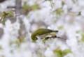 [鳥]メジロ2016春