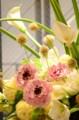 [花]ラナンキュラス「シャルロット」1