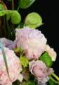 [花]シャクヤク「サラベル」