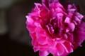 [花]シャクヤク「華燭の典」