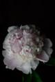 [花]シャクヤク「白桃」