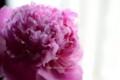 [花]シャクヤク「富士」
