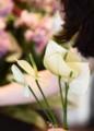 [花]アンスリューム「スノー」