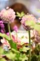 [花]アリウム「ギガンジューム」