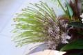[花]アリウム「シューベルティー」