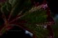 [花]レックスベゴニア4