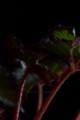 [花]レックスベゴニア3