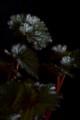 [花]レックスベゴニア2