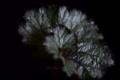[花]レックスベゴニア1