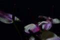 [花]アンスリューム「マキシマビオレッタ」3