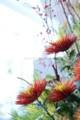 [花]マム「チスパ」