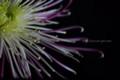 [花]マム「赤利休」2