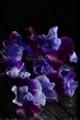 [花]スイートピー「華姫」